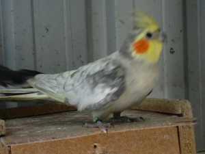 Spangle cock