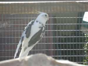 Whiteface Pied Cock