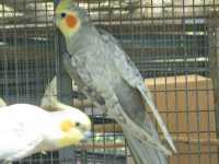 Silver Spangle Cock