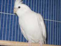 Whiteface platinum Cock