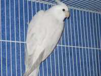 Whiteface Platinum Pearl Cock
