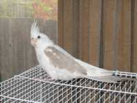 WHITEFACE CINNAMON PIED