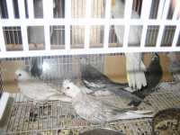 YOUNG WHITEFACE CINNAMON PEARL HAND REARED BABIES