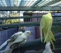 LEFT Whiteface pearlpied HEN RIGHT Total reverse yellow pied