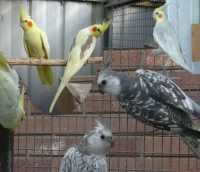 Just a couple of different mutations & colours in Cockatiels