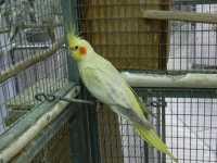 Platinum pearl hen